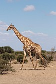 Male Giraffe Walking