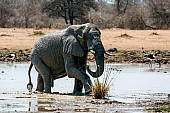 Elephant Exiting Waterhole