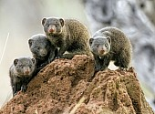 Dwarf Mongooses on Termite Mound