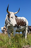 Nguni Cow Against Blue Sky