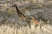 Giraffe Mother with Youngster