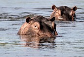Hippo Pair in River