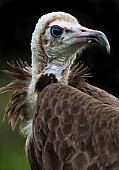 Hooded Vulture Portrait