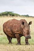 White Rhino in Winter Grass