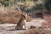 Lion Cub on Haunches