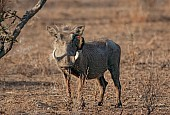Warthog with Red-billed Oxpecker