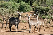 Waterbuck Female and Youngsters