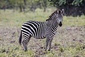 Zebra Standing Side-on
