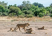 Lioness Guarding Youngsters