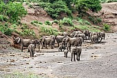 Elephant Herd Finding Water