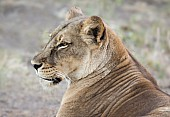 Lioness Side View, Head Shot