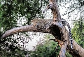 Leopard Lying on Tree Stump