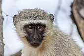 Vervet monkey wildlife reference photo