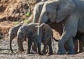 Mother Elephants with Juveniles