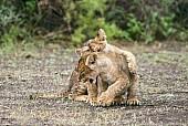 Lion Cub Practising Attack Skills