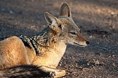 Black-backed Jackal Resting in Shade