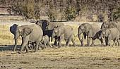 Elephants Heading for Water