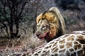 Hungry Male Lion Feeding on Giraffe