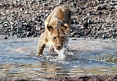 Sub-adult Lion Stepping into Shallow Stream