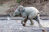 Elephant Baby Running in River Sand
