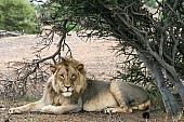 Lion Male Lying in Shade of Tree