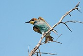 European Bee-eater, View of Underside