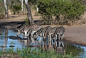 Zebras drinking reference photo