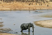Muddy Elephant in Water