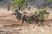 Kudu Bull Wallking, Side-On