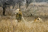 Male Lions in Winter Grass After Rains
