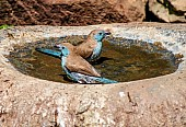 Blue Waxbills Enjoying Birdbath
