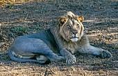 Lion Male Lying Dappled Light