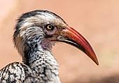 Red-billed Hornbill, Close-up