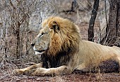 Male Lion Lying, Side View