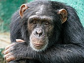 Chimpanzee with Head on Arm