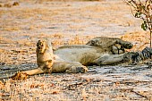 Young Male Lion Lying on Back