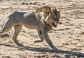 Male Lion Chasing After Lioness