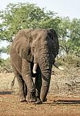 African Bull Elephant