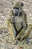 Baboon Holding Object