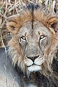Wide-eyed Male Lion