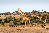 Giraffe Striding Out