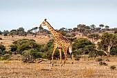 Giraffe Striding Out