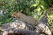 Leopard in Dappled Shade