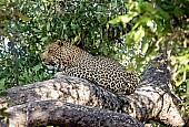 Leopard in Dappled Shade