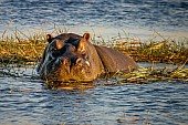 Hippo in Reedbed