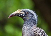 African Grey Hornbill Female, Close-up