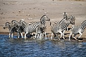 Zebra Group at Waterhole