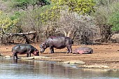 Hippo standing amongst crocodiles, reference picture