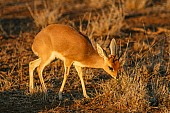 Steenbok Feeding in Warm Light