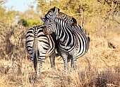 Zebra Pair Being Affectionate
